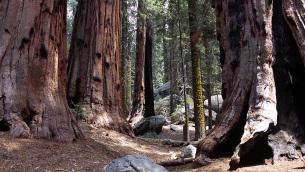 I «Giganti della Sila» nel bosco di Fallistro