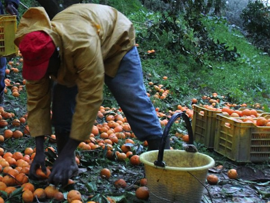 raccolta-arance
