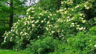 sambucusnigra-pianta1