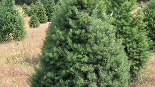 alberi-di-natale-veri_NCG2