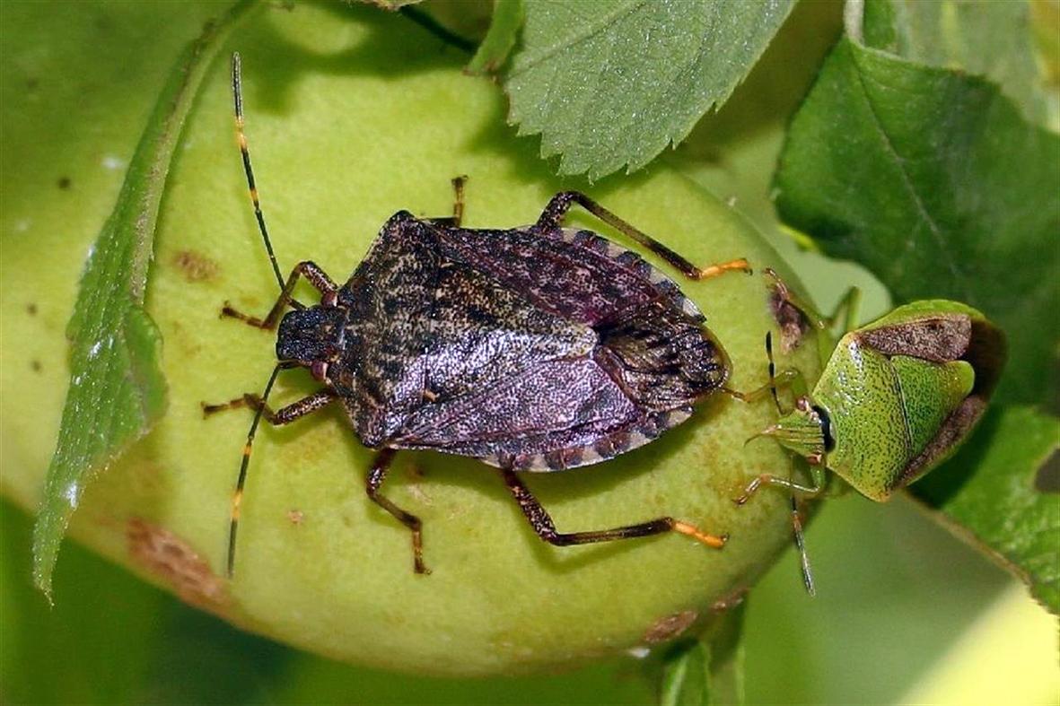 L allarme della coldiretti la cimice asiatica invade i for Cimice insetto