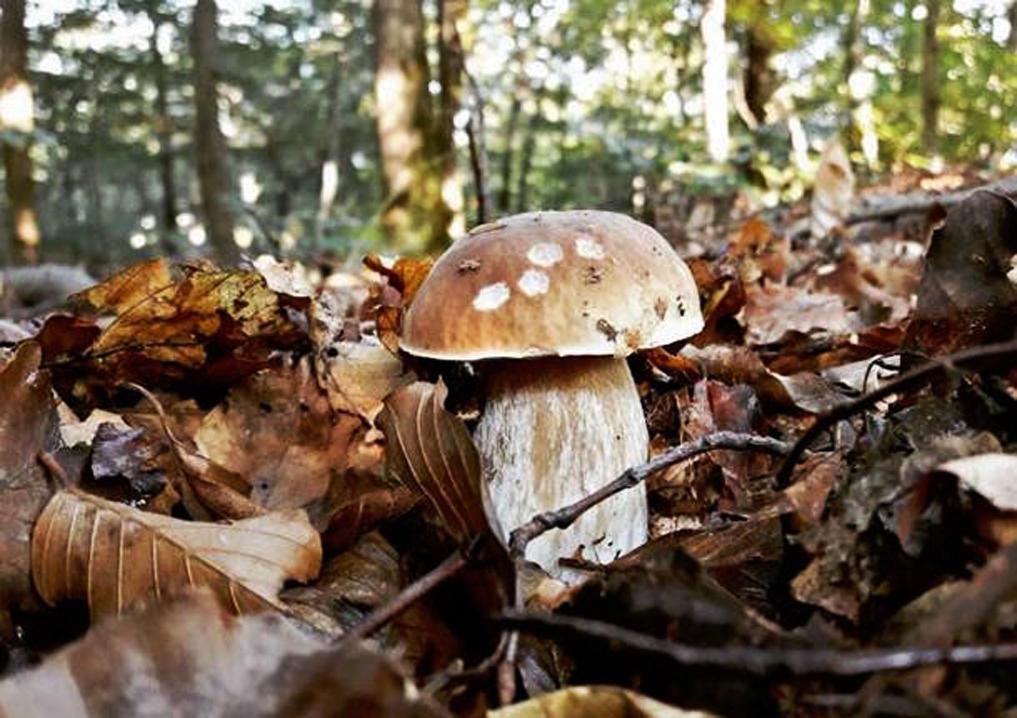 funghi-12-ottobre-2016-572759-610x431