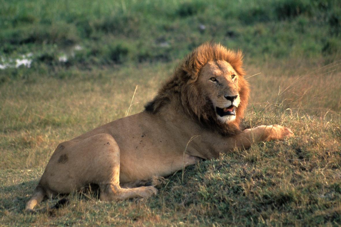 African lion (Panthera leo); Masai Mara National Reserve, Kenya © WWF-US / Colby Loucks