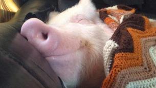 maiale che dorme