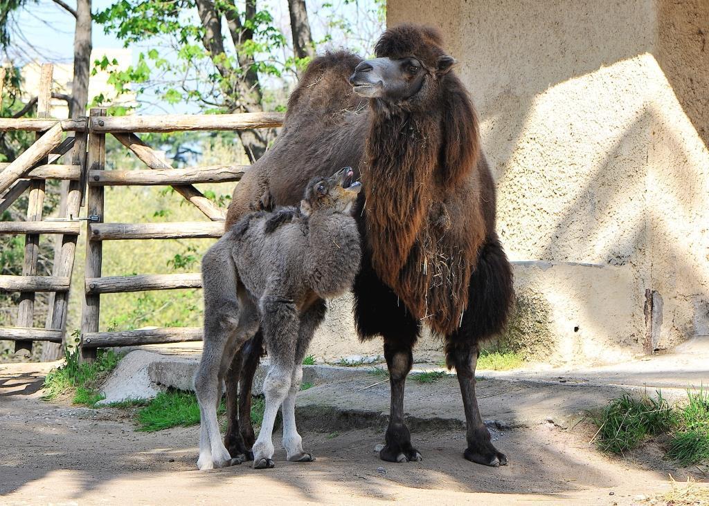 Nascite al Bioparco di Roma, arrivano una cammellina e due pinguini