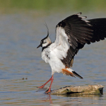Pavoncella, foto di Luigi Sebastiani (www.birds.it)