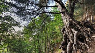 Un pino laricio nel Parco della Sila (foto di A. Gandolfi)