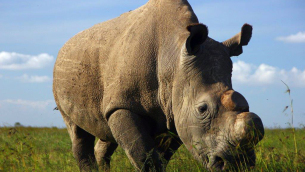 sudan_ultimo_rhino_bianco_small