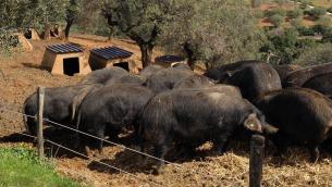 Suini neri di Calabria della Filiera Madeo